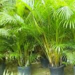 areca bambu